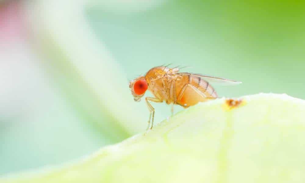 Weg met fruitvliegjes